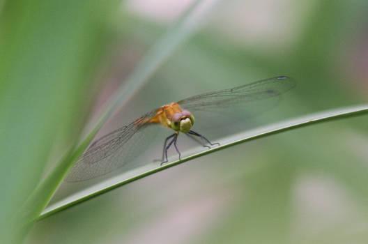 Dragonfly 7/17