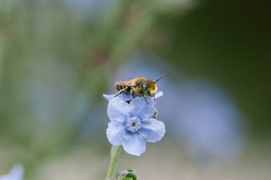 Leaf cutter bee on forget me not 7/17