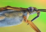 Gerris lacustris. by irassMakroFotografie