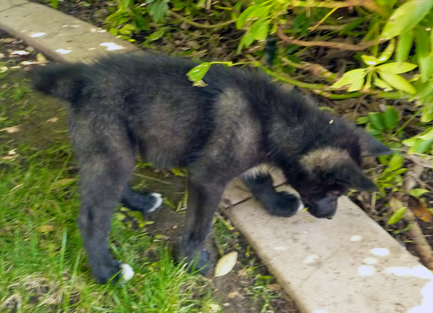 Black and brown wolfdog pup by naamahferal on deviantart black and brown wolfdog pup by naamahferal sciox Images