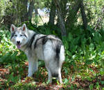 Wolfdog - Velir III