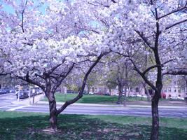 Cherry Blossom by NinjaVader