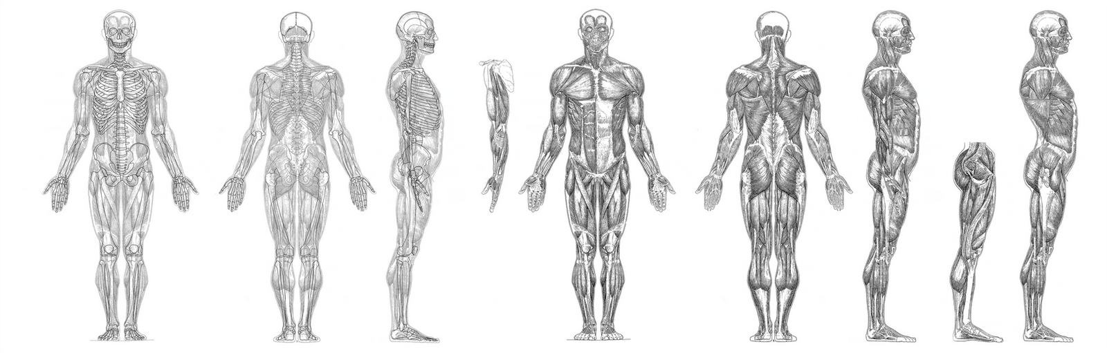 Artist anatomy reference