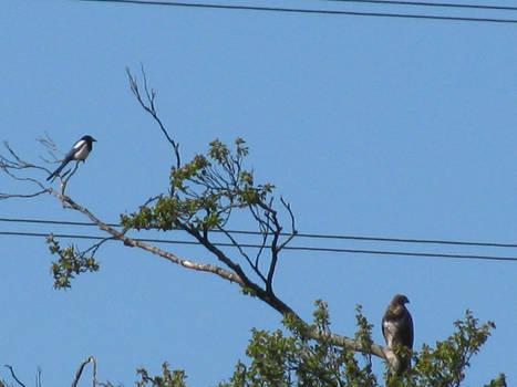 Magpie and Buzzard