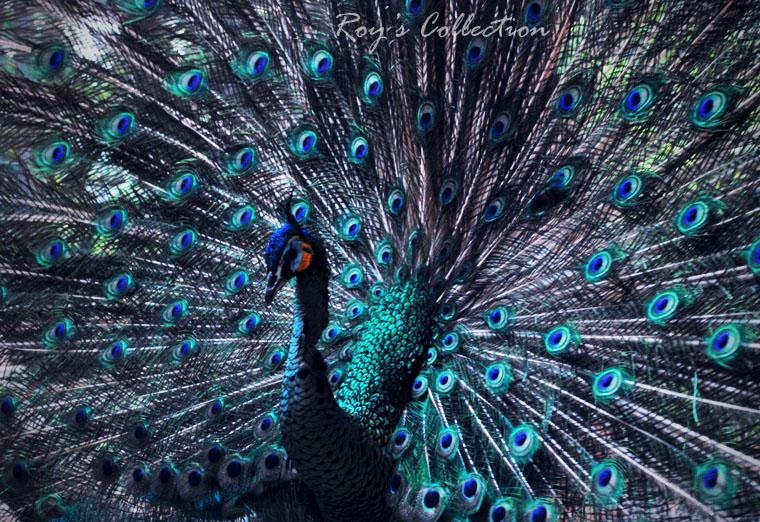 Sweety Beauty Peacock by RoyWicaksono