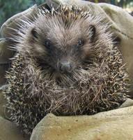Animal 1 - Little Hedgehog by lorenzArts