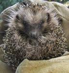 Animal 1 - Little Hedgehog