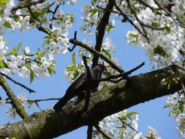 Blackbird and white flowers by jablar