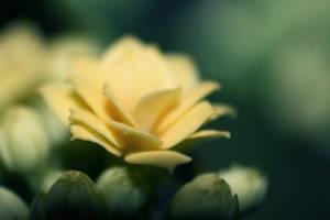 x - Blossfeldi kalanhoe by TriinErg