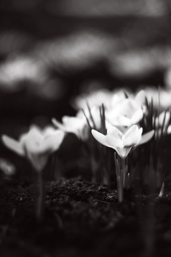 White crocuses by TriinErg