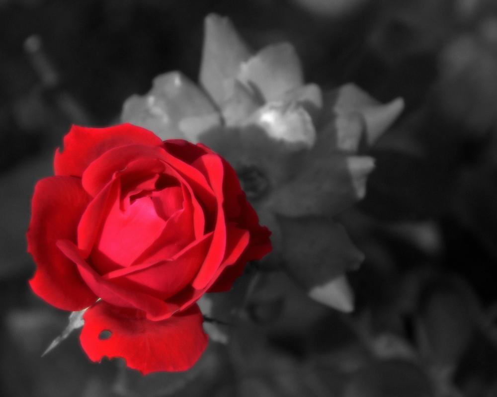 Rose Red by Rayvenstar