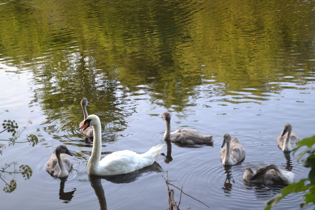 Swans by HampshireBrony