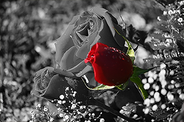 Red Rose by SurrealDreamer13