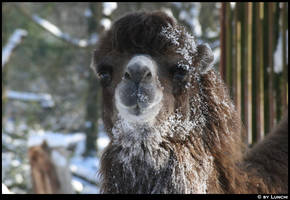 Camel in the snow by Lunchi