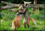 Maned wolf cubs