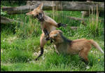 Maned wolf cubs 2