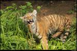 Crazy tiger is crazy