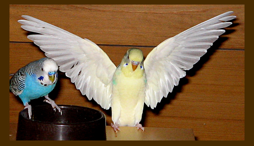 how to cut parakeet wings