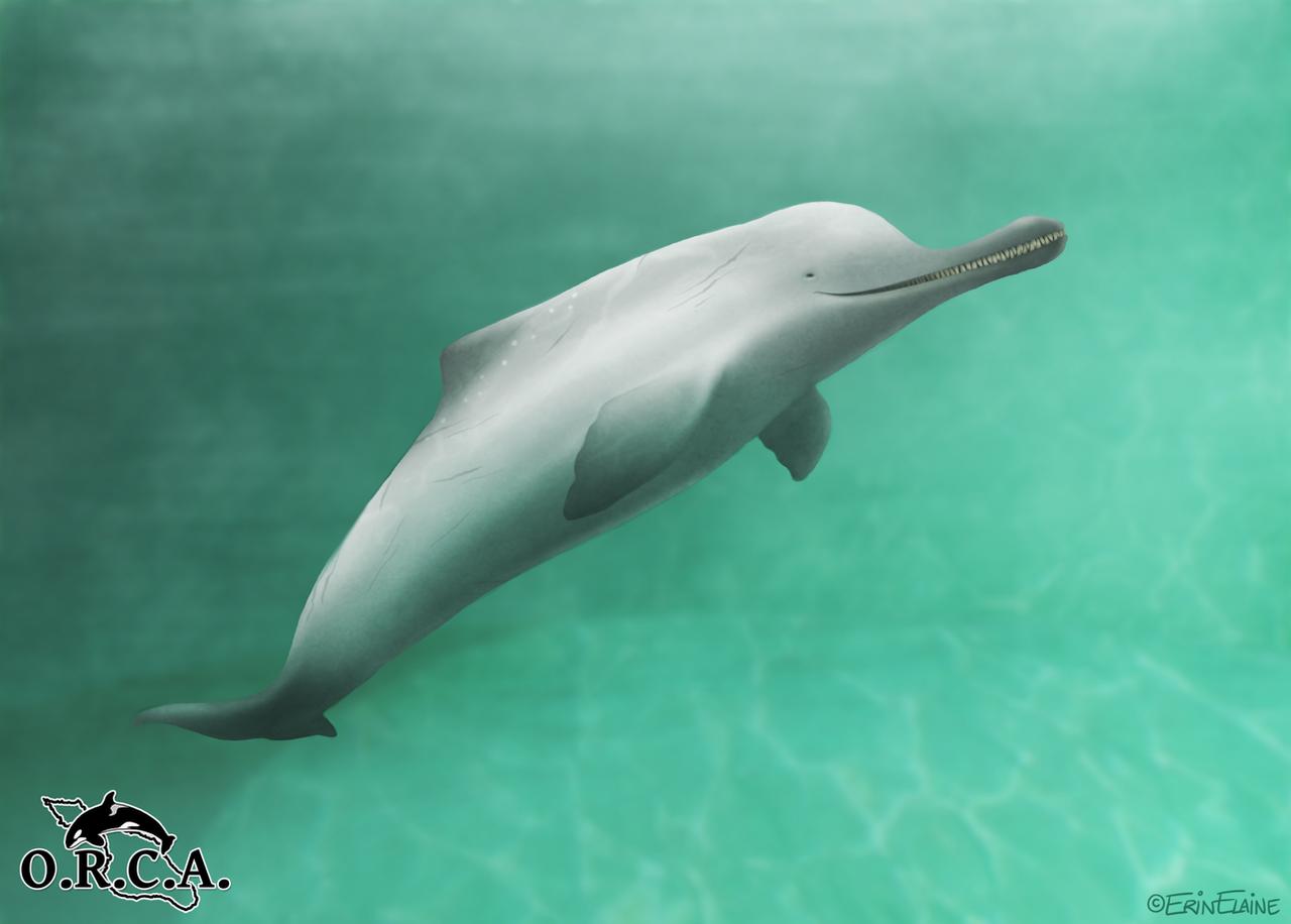 Indus River Dolphin by daggerstale on DeviantArt