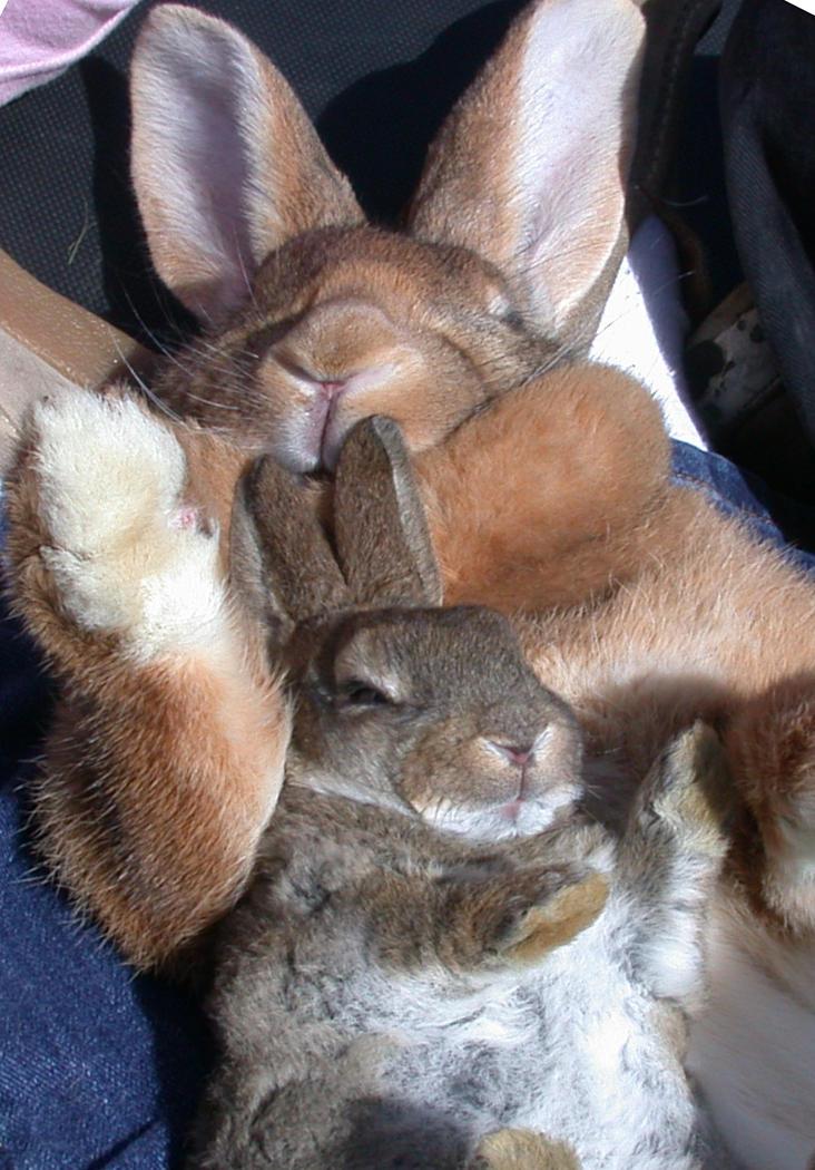 mini wild rabbits