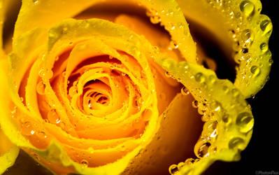 wet rose by RaumKraehe