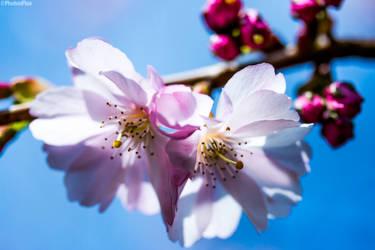 Cherry Blossom by RaumKraehe