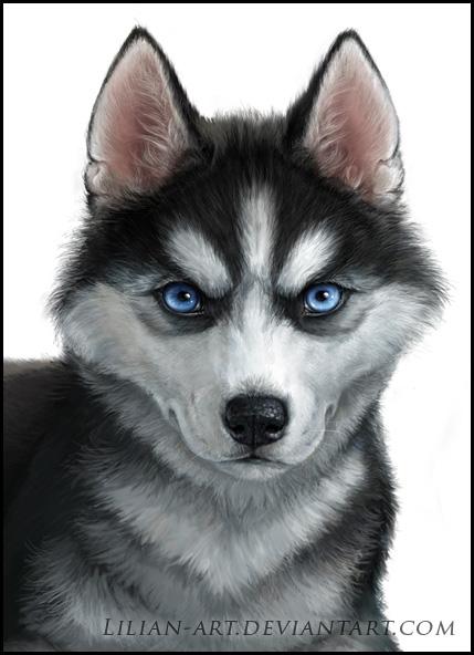 Siberian Husky by Lilian-art