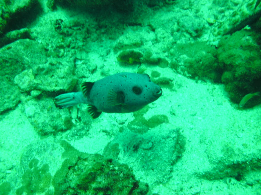Many firsts but still no whale shark isn 39 t it a wonder for Dog face puffer fish