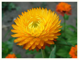 Summer Flower by Waterlilynl