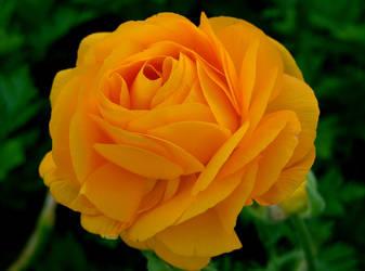 Yellow by Waterlilynl