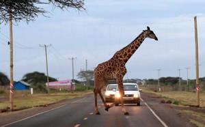 The Giraffe's Crossing