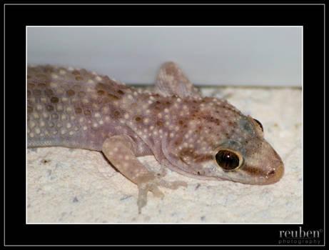 Maltese Gecko
