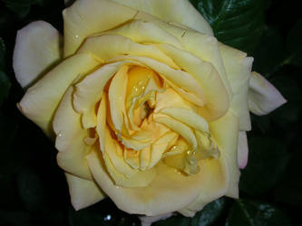 A Yellow Rose by ElisabethvonAustria