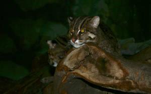 Fishing Cats - 1 by Divinorumus