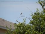 Hummingbird Perched 3