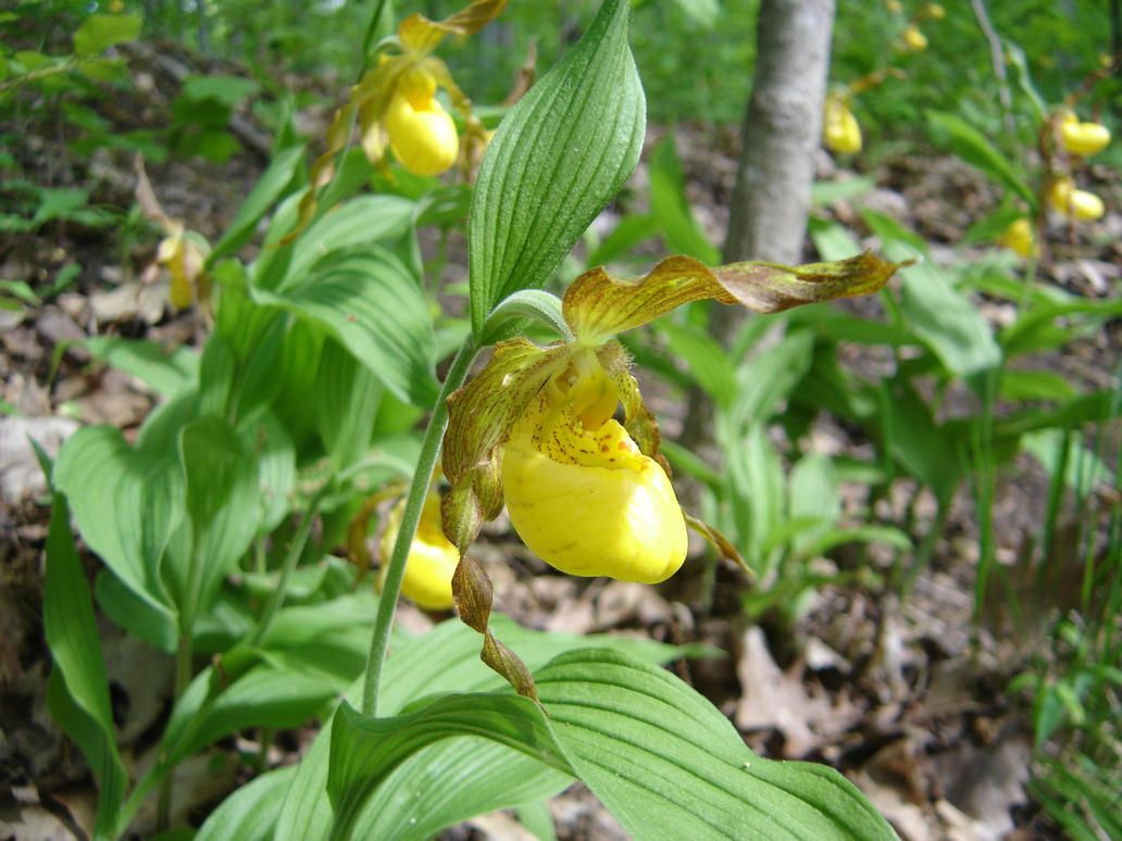 Urban Large Yellow Lady Slipper By Forest Imp On Deviantart