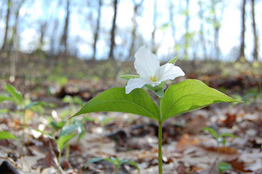 White Trillium Wakens in the Woods by Forest-Imp
