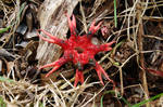 Starfish Stinkhorn