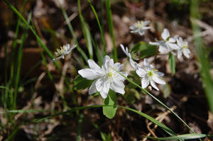 Meadow Rue Nor An emone by Forest-Imp