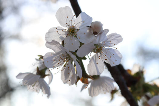 The flowers of cherry