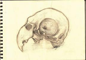 Parrot skull sketch