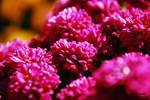 Pink bundles by WindRid3r