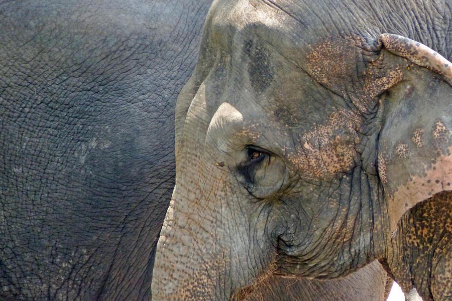 Thoughtful Elephant by DarthIndy