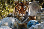 Bengal tiger playing with ball