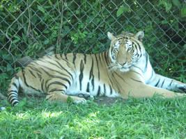 el rey del zoo by Griselibiris