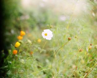 a white flower by SheraRut
