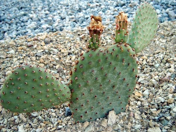 Exploring Terra Photo - Cactus 4 by akaLOLCat