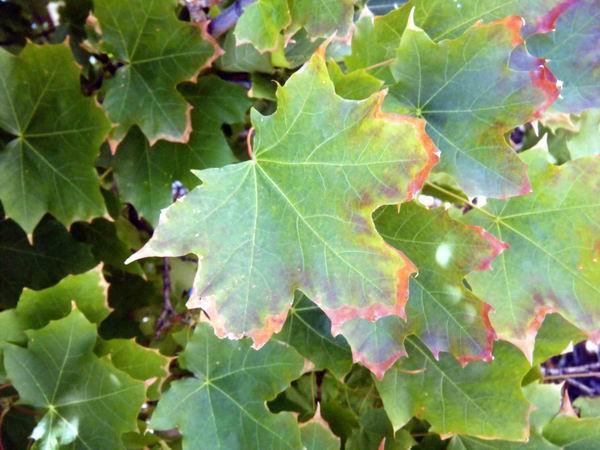 Exploring Terra Photo - Rusting Maple Leaves by akaLOLCat
