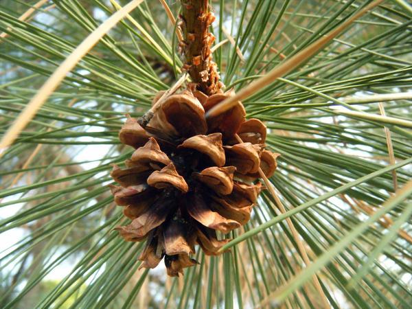 Exploring Terra Photo - Pine Cone 1 by akaLOLCat