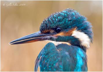 Kingfisher by Swordtemper